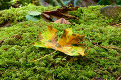 Fall Maple on Moss Stock Photo