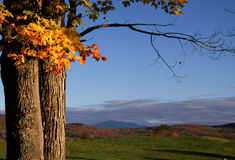 Fall Maple Tree. Maple leaves and mountains in Vermont Stock Images