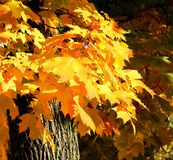 Fall maple tree stock photography