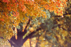 Fall Maple Tree Background Royalty Free Stock Images