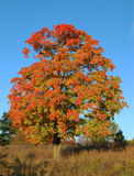 Fall maple tree with blue sky. In background Royalty Free Stock Photos