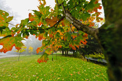 Fall maple tree in foggy park Royalty Free Stock Photography