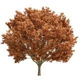 Fall Maple Tree Isolated Royalty Free Stock Photography