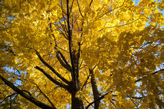 Fall maple tree Royalty Free Stock Images