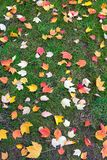 Fall Maple Tree Leaves on Green Lawn Stock Photography