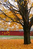 Fall: maple tree with yellow leaves. Maple tree with falling yellow leaves with red barn background Royalty Free Stock Images