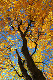Fall maple trees. Glowing in sunshine with blue sky background Royalty Free Stock Images