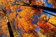 Fall maple trees. Glowing in sunshine with blue sky background Stock Images