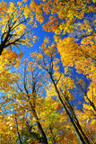 Fall maple trees Stock Photos