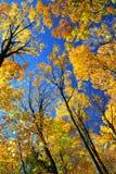 Fall maple trees Stock Photos