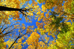 Fall maple trees. On a warm autumn day Royalty Free Stock Photography