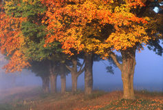 Fall Maples. Fog and maple tree in fall Wisconsin Royalty Free Stock Photography