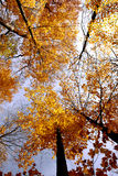 Fall maples Royalty Free Stock Images