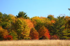 Fall Meadow. Soft grass meadow with a background wall of fall colored forest under a cloudless sky stock photos