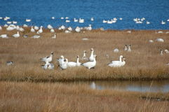 Fall Migrant Snow Geese, Chen caerulescens Royalty Free Stock Photography