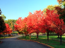 Fall in Minneapolis. Maple trees in Minneapolis, fall season Royalty Free Stock Photo