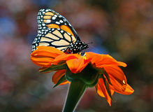 Fall Monarch. Monarch Butterfly on a Tithinoa Rotundifolia or Mexican Sunflower on a Fall day in New England Royalty Free Stock Photos