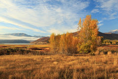 Fall morning aspens in Heber Valley. Autumn morning aspens in the Wasatch Mountains, Utah, USA Royalty Free Stock Photo