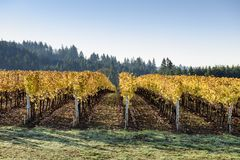Fall Morning Colors of Vineyards in the Mid Willamette Valley, Marion County, Western Oregon Stock Photo