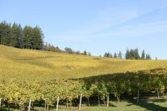 Fall Morning Colors of Vineyards in the Mid Willamette Valley, Marion County, Western Oregon. Fall Morning Colors of Vineyards in the Mid Willamette Valley Royalty Free Stock Photo