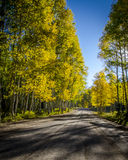 Fall Morning Drive in the Aspens 2. Dirt road winding through yellowing aspen trees with the sun streaming through Royalty Free Stock Image