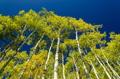 Fall Morning Drive in the Aspens 3. Yellowing aspen trees towering above into a clear blue sky Stock Photos