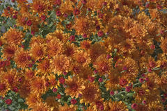 Fall Mums Royalty Free Stock Image