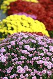 Fall Mums Royalty Free Stock Photos
