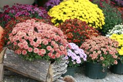 Fall Mums stock photography