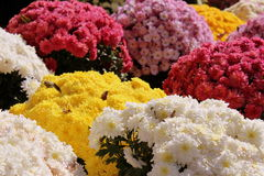 Fall mums Stock Photo