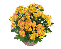 Fall mums flowers Royalty Free Stock Image