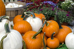 Fall mums with white and orange pumpkins Stock Images