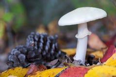 Poisonous Amanita Fall Mushroom Stock Photo