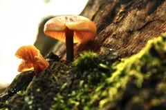 FALL MUSHROOM MACRO. A macro shot about moss and mushrooms on the tree Royalty Free Stock Photos
