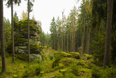 Fall. Naked pines in the Bavarian forest Stock Image