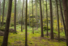 Fall. Naked pines in the Bavarian forest Stock Photography