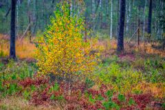 Fall nature colors. Of birch tree in autumn royalty free stock photos