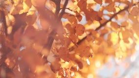 Fall nature harmony golden tree leaves sway breeze. Fall nature harmony. Golden tree leaves sway in breeze. Blur sun light stock video footage