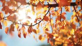 Fall nature park yellow trees blue sky sunny day. Fall nature park. Yellow trees. Blue sky. Sunny day. Leaves sway in breeze stock footage