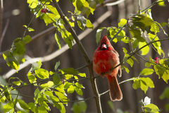Fall Northern Cardinal Royalty Free Stock Photo