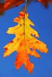 Fall oak leaf. Colorful fall oak leaf on a tree branch with blue sky background Stock Photo