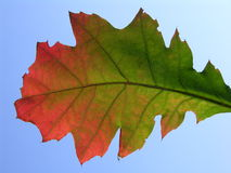 Fall oak leaf on blue background. Fall oak leaf, sunny blue sky as a background royalty free stock images