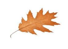 Fall oak leaf Stock Photo