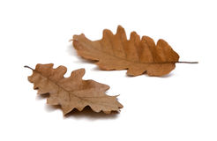 Fall oak leaves Stock Photos