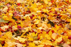 Fall Orange And Red Autumn Leaves On Ground Royalty Free Stock Photography