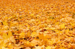 Fall orange autumn leaves on ground. Background Stock Images