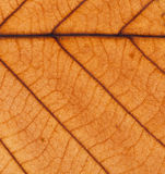 Fall orange leaf veins background texture Royalty Free Stock Image