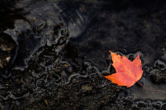 Fall Orange Maple Leaf on Dark Wet Rocks Royalty Free Stock Photography