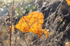 Fall orange poplar leaf on the background of dry grass. Autumn backdrop. Fall orange poplar leaf on the background of dry grass in backlighting. Selective focus Royalty Free Stock Photo