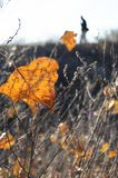Fall orange poplar leaf in backlighting on the background of wasteland and male silhouette. Stock Photo
